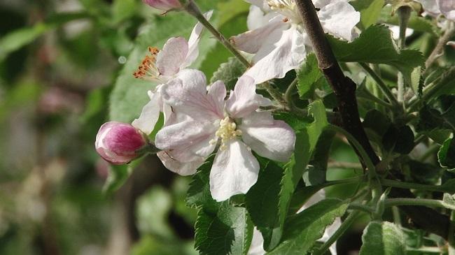 Яблуками з Донеччини смакують у Дубаї
