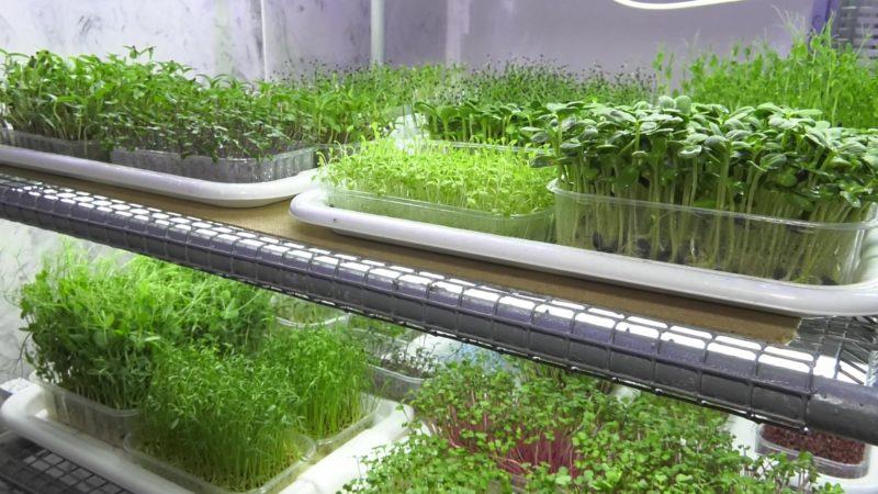 Підприємниця з Костянтинівки захопилася вирощуванням мікрокультур
